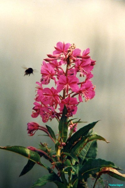 Fireweed, also known as Rosebay Willow herb carpets huge areas of open ground, a welcome blaze of colour