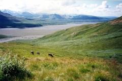 Caribou at Wonder Lake