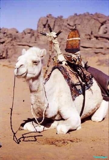 Touareg camel with distinctive saddle