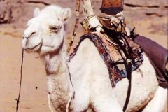 Touareg camel with distinctive saddle