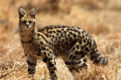 Serval, an uncommon sight in its homeland. © National Parks of Ethiopia