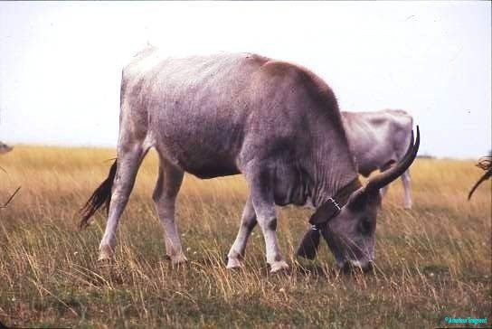 Hungarian Grey cattle, adapted to the alkaline soils and vegetation of the Puszta