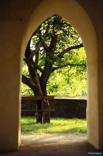 Walnut tree in church yard. Fortified churches are the oldest buildings in many places