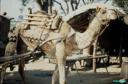 Decorated-camel-Bishnoi-village-near-Jodhpur-india