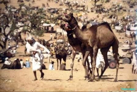 Prize camels at Pushkar Fair