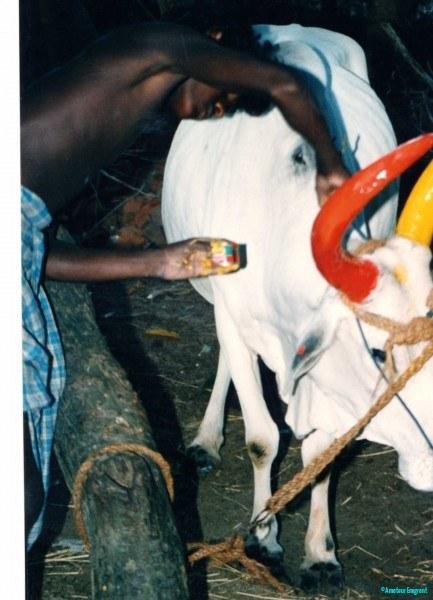 Redecorating-the-bullocks-for-Pongal-harvest-festival-Tamil-Nadu-india-1