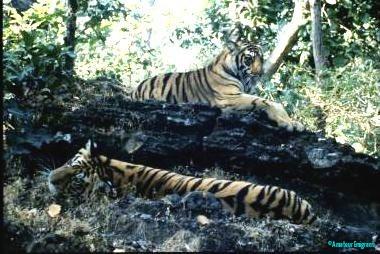 Two-subadult-males-lounging-in-Bandhavgarh-Madhya-Pradesh-India
