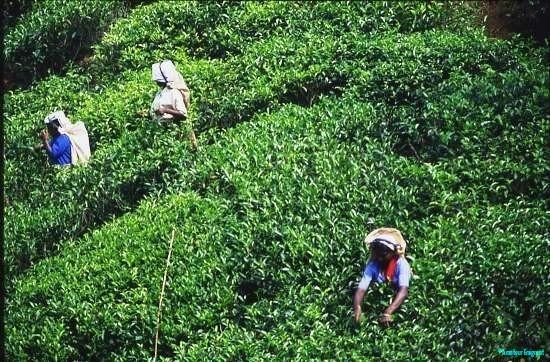 Tea Pickers, near to Nuwara Eliya, Sri Lanka