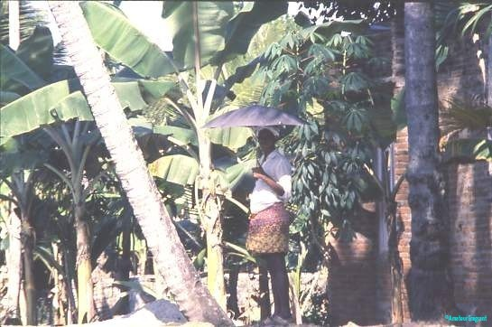 Banana grove, Kerala