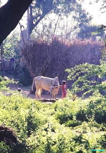 Village life, Tamil Nadu, even small children assume responsibility