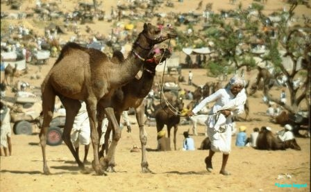 An older man leads two young prize camels back to his camp in the desert