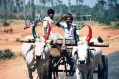 Off-to-market-Fresh-shirts-and-decor-on-bullocks-Pongal-festival-Tamil-Nadu-India-1