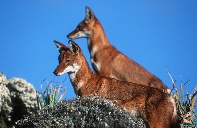Simen Fox, also Ethiopian wolf, note the spare, agile frame. © Martin Harvey, National Parks of Ethiopia