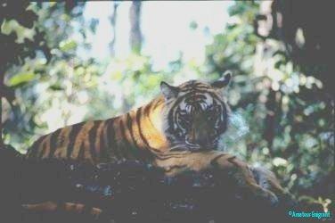 hiding-tiger