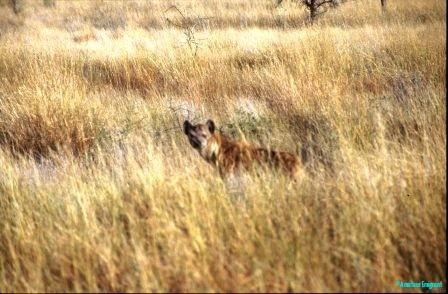 hyena-awash