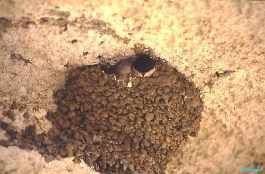 House martens in nest