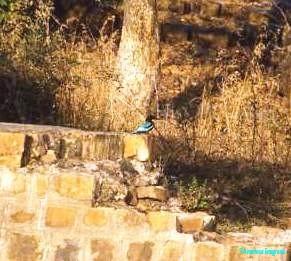 Kingfisher Bharatpur