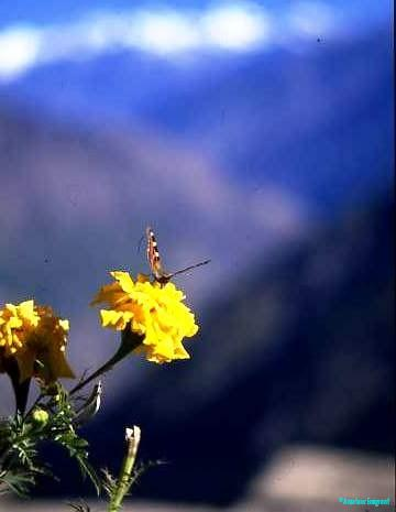 Mountain bloom with visitor
