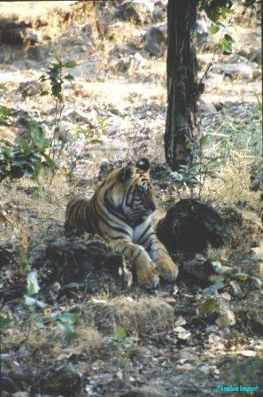mother-tiger-bandhavgarh