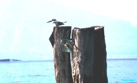 pied-kingfisher-ethiopia