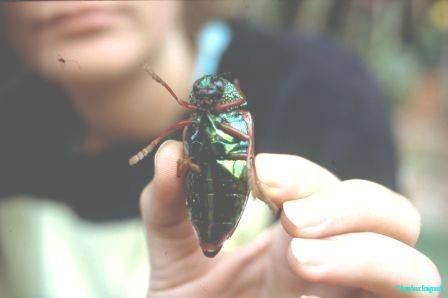 scarab-beetle