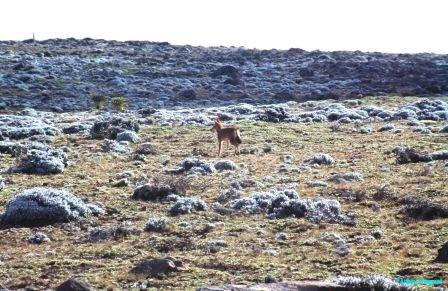 simien-fox-bale-plateau