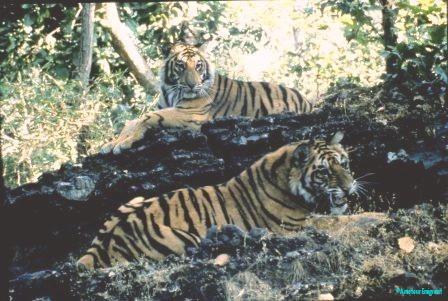 subadult-male-tigers