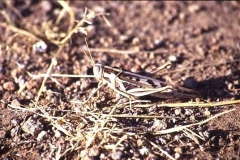 Locust, hardly visible in dry grass