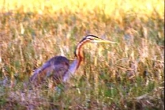 Snakebird, Bharatpur