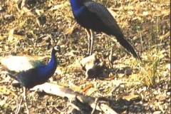 Peacocks, Rajasthan. The National bird of India