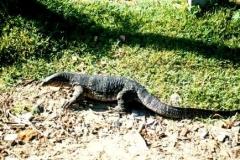 monitor-lizard-ethiopia
