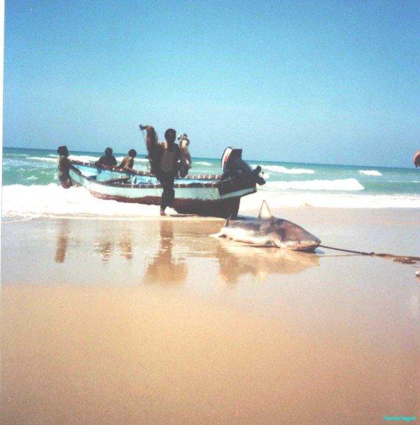 hauling-in-shark-Husn-el-Gharb
