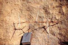 acacia-thorn