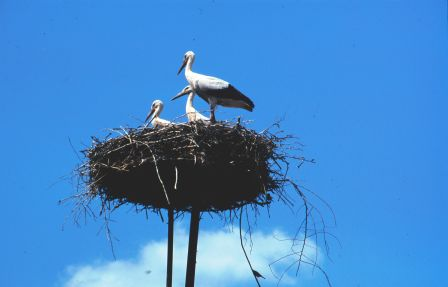 Storks nest on any high point in the Hungarian Plain