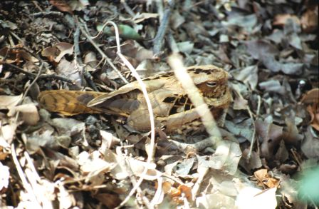 A nightjar, busy being a nightjar, Bharatpur, India