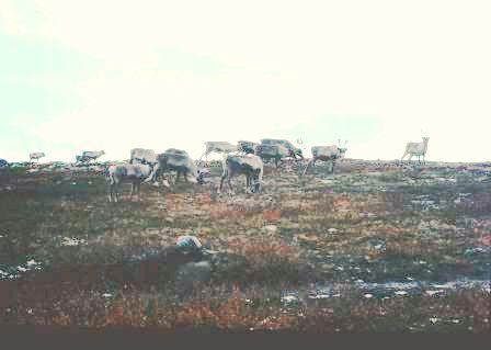 reindeer-finnmark