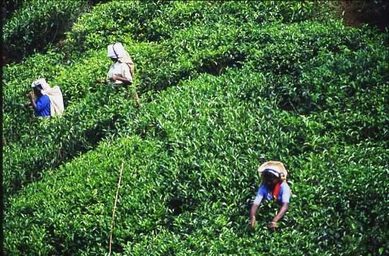 Tea Pickers,