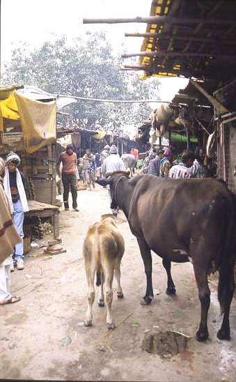 Cattle, a feature of most Indian markets