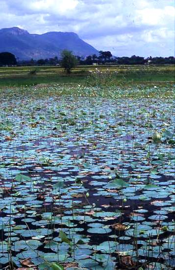 Lily pads, location unknown