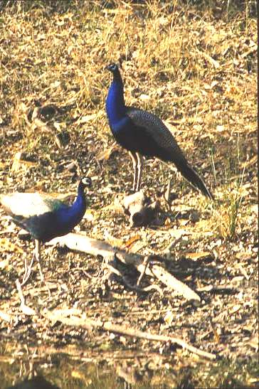 Peacocks, Rajasthan