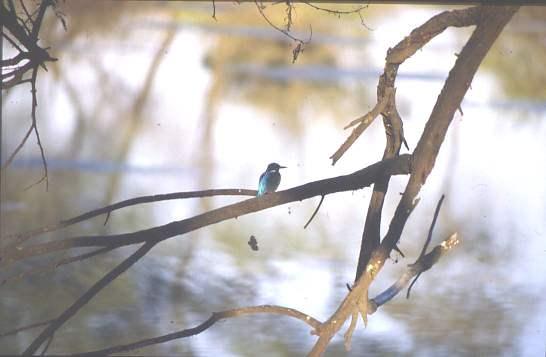 Kingfisher, Ranthambore