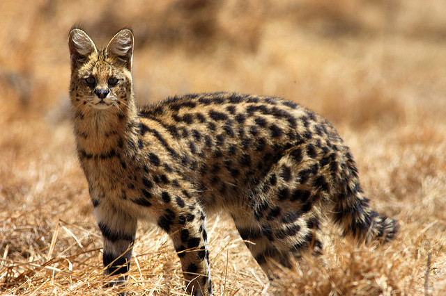 Serval, National Parks of Ethiopia