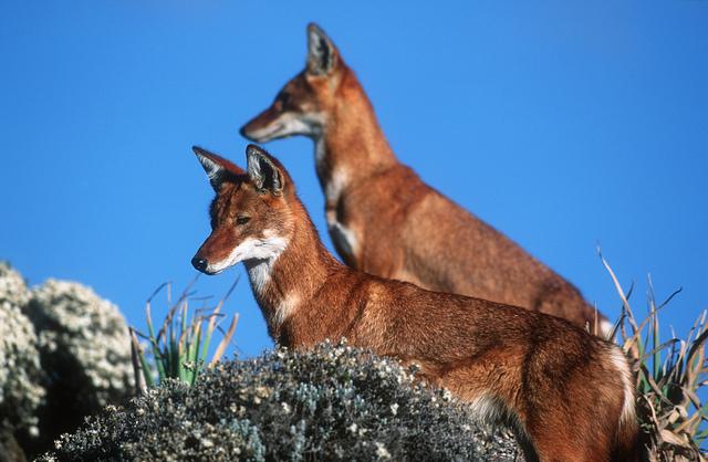 Simen Fox, also Ethiopian wolf